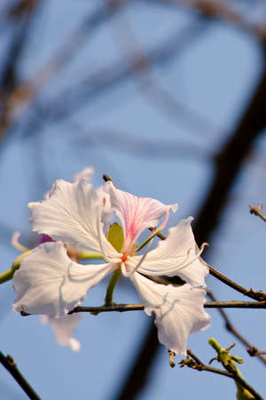 quite: Bauhinia variegata is quite a sight to see a whole tree covered with these spectacular orchid-like blossoms