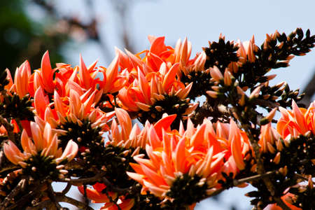 subcontinent: Bastard Teak is species of Butea native to tropical and sub-tropical parts of the indian subcontinent and Southeast Asia . it is a medium sized dry season-deciduous tree,growing to 15 m tall
