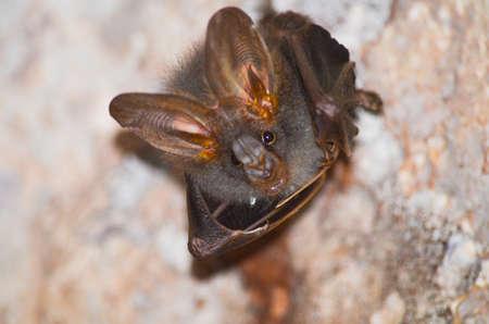 murcielago: Esser falsa murci�lago vampiro est�n durmiendo en la cueva en la que cuelga el per�odo techo del mediod�a Foto de archivo
