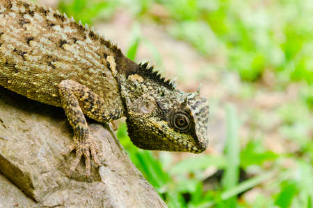 lizzard: green lizzard is walking on rock, body  dragon have green color and spiny on the top body Stock Photo