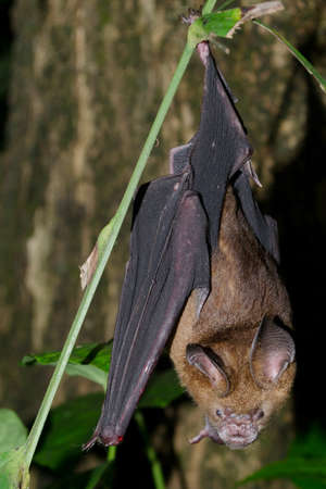 intermediate: intermediate leaf-nosed bat are sleeping in the cave hanging on the ceiling period midday