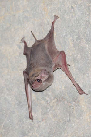 pteropus: black-bearded tomb bat are sleeping in the cave hanging on the ceiling period midday