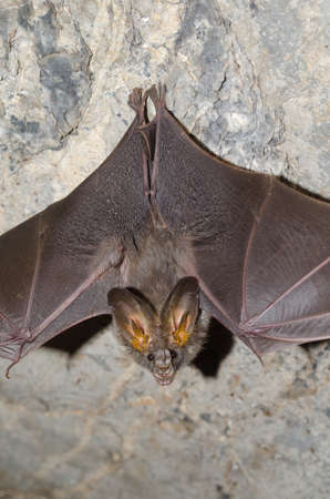 pteropus: lesser false vampire bat are sleeping in the cave hanging on the ceiling period midday