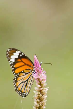 nymphalidae: monarch butterfly is a milkweed butterfly in the family Nymphalidae and is flying around pink flower in garden  have green background Stock Photo