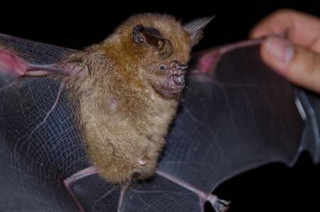 pteropus: intermediate leaf-nosed bat are sleeping in the cave hanging on the ceiling period midday