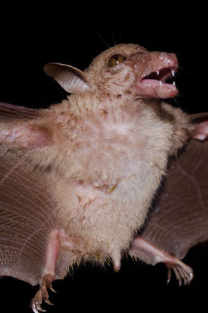 pteropus: hill long-tongued fruit bat are sleeping in the cave hanging on the ceiling period midday