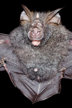 pteropus: blyths horseshoe bat are sleeping in the cave hanging on the ceiling period midday Stock Photo