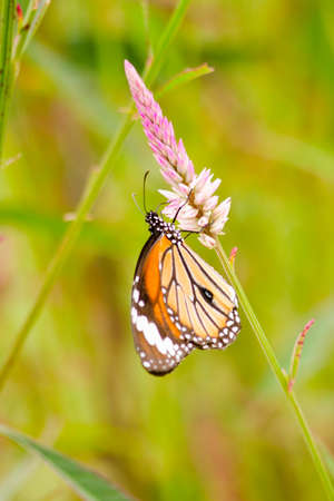 milkweed butterfly: monarch butterfly is a milkweed butterfly in the family Nymphalidae and is flying around pink flower in garden  have green background Stock Photo