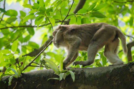 friut: monkey is climbing on the tree for eat friut in forest