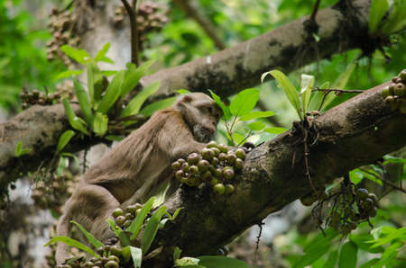 cage gorilla: monkey is climbing on the tree for eat friut in forest