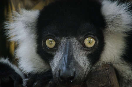 mammalia: white-handed gibbon is primates in mammalia ,mostly it catch branch on the tree in dry deciduous forest Stock Photo
