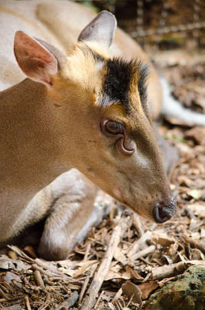 The Feas Muntjac or Tenasserim muntjac (Muntiacus feae) is a rare species of muntjac native to China, Laos, Myanmar, Thailand and Vietnam. Red List of Threatened Species