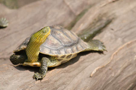 Terrapin is used to describe several species of small, edible, hard-shell turtles, typically those found in brackish waters, and is an Algonquian word for turtle.
