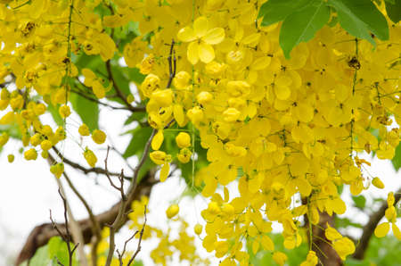 Cassia fistula is plant of thailand and its flower is Thailands national flower.
