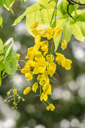 fistula: Cassia fistula is plant of thailand and its flower is Thailands national flower.