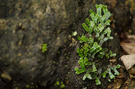 liverworts. Like mosses and hornworts, they have a gametophyte-dominant life cycle