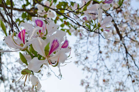 Bauhinia variegata is quite a sight to see a whole tree covered with these spectacular orchid-like blossoms that are up to 5 in 12.7 across and orchid tree is used as a street tree ,shade tree ,specimen or focal tree in tropical and subtropical landscapes Stock Photo