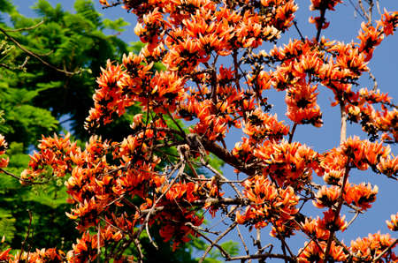Bastard Teak is species of Butea native to tropical and sub-tropical parts of the indian subcontinent and Southeast Asia . it is a medium sized dry season-deciduous tree,growing to 15 m tall