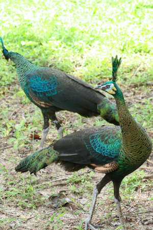 Green peafowl are large birds, amongst the largest living galliforms in terms of overall size