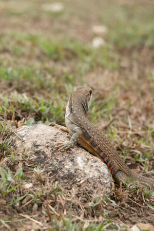 butterfly lizards group of agamid lizards of which very little is known. They are native to  Thailand