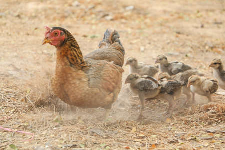 chicks: red chicks and hen walking for food on the ground Stock Photo