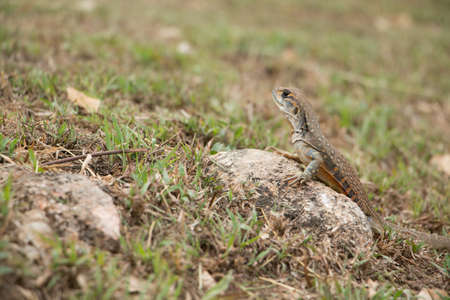 cold blooded: butterfly lizards group of agamid lizards of which very little is known. They are native to  Thailand