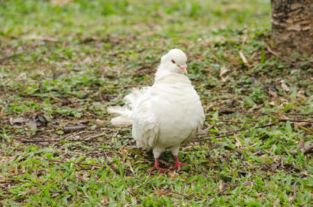 white rock pigeon  includes the domestic pigeon,  Escaped domestic pigeons have raised the populations of feral pigeons around the world