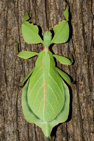 Phyllium bioculatum have extremely flattened, irregularly shaped bodies, wings, and legs.