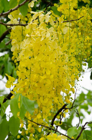 fistula: Cassia fistula  is the national tree of Thailand, and its flower is Thailands national flower.It blooms in late spring. Flowering is profuse, with trees being covered with yellow flowers, Stock Photo