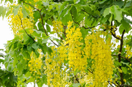 Cassia fistula  is the national tree of Thailand, and its flower is Thailands national flower.It blooms in late spring. Flowering is profuse, with trees being covered with yellow flowers, Stock Photo