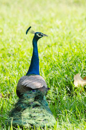 India peafowl are large birds, amongst the largest living galliforms in terms of overall size Stock Photo
