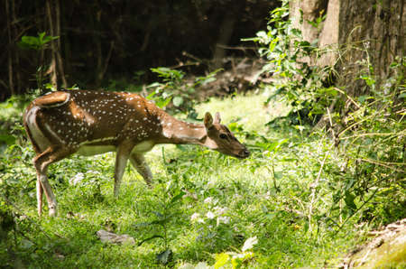 is a species of deer that is native in the Indian subcontinent