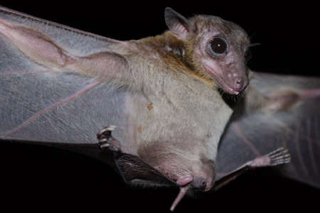 Cave Fruit Bat are sleeping in the cave hanging on the ceiling period midday