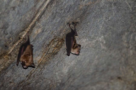 Malayan Horseshoe Batare sleeping in the cave hanging on the ceiling period midday