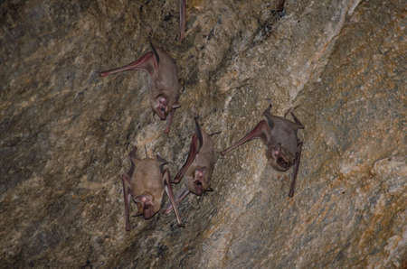 Long-winged Tomb Bat   are sleeping in the cave hanging on the ceiling period midday