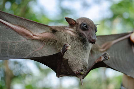Greater Shortnosed Fruit Bat   are sleeping in the cave hanging on the ceiling period midday Stock Photo