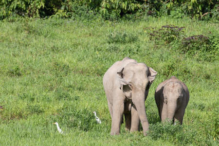 Asian elephants are the largest living land animals in Asia.Asian elephants are highly intelligent and self-aware.