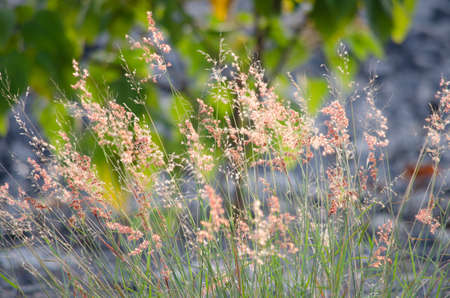 grss blooming grass field with blurry background in the morning