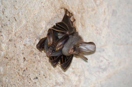 esser false vampire bat  are sleeping in the cave hanging on the ceiling period midday
