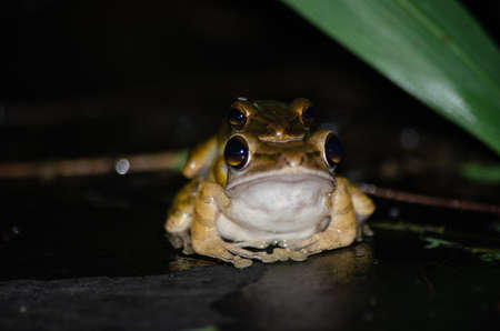 As the name implies, these frogs are typically found in trees Standard-Bild