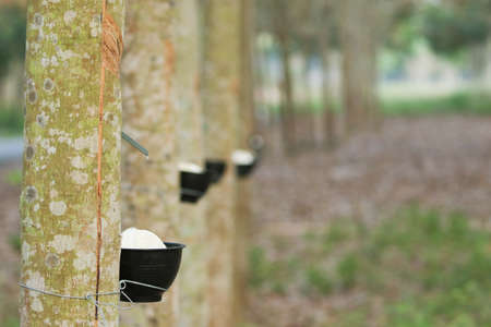 para rubber tree  have change of  leaf  in dry seson of thailand. Para rubber tree make milk rubber for rubber industry . It is product about rubber such as rubber glove , tire of cycle.