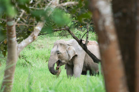 Asian elephants are the largest living land animals in Asia .Asian elephants are highly intelligent and self-aware.