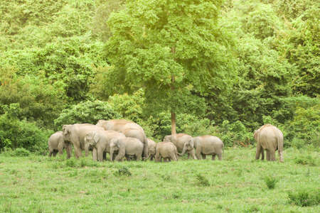 Asian elephants are the largest living land animals in Asia .Asian elephants are highly intelligent and self-aware. Standard-Bild - 110727684