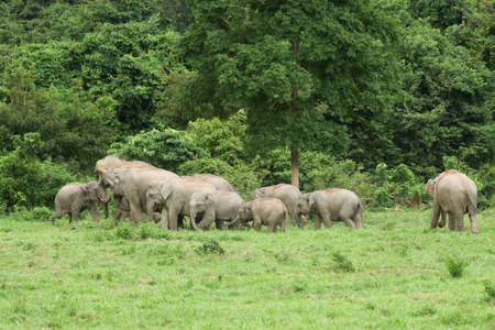 Asian elephants are the largest living land animals in Asia .Asian elephants are highly intelligent and self-aware. Standard-Bild - 110727685
