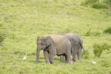 Asian elephants are the largest living land animals in Asia .Asian elephants are highly intelligent and self-aware. Standard-Bild - 110727691