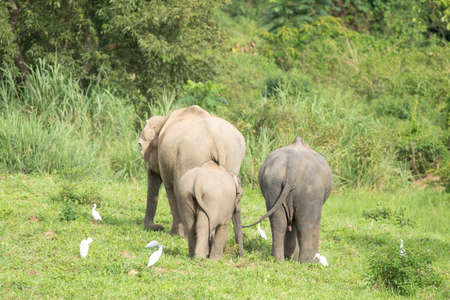 Asian elephants are the largest living land animals in Asia .Asian elephants are highly intelligent and self-aware. Standard-Bild - 110727693
