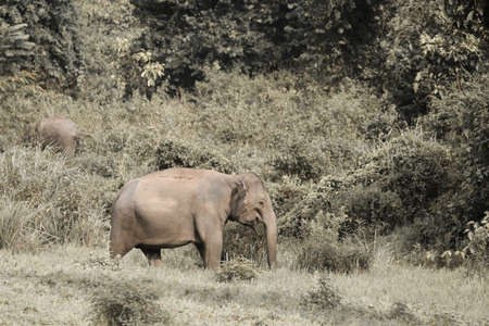 Asian elephants are the largest living land animals in Asia .Asian elephants are highly intelligent and self-aware. Standard-Bild - 110727694