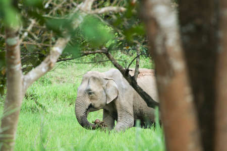 Asian elephants are the largest living land animals in Asia .Asian elephants are highly intelligent and self-aware. Standard-Bild - 110727695