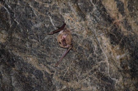 Long-winged Tomb Bat   are sleeping in the cave hanging on the ceiling period midday Standard-Bild - 110727697