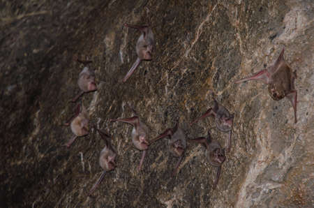 Long-winged Tomb Bat   are sleeping in the cave hanging on the ceiling period midday Standard-Bild - 110727698